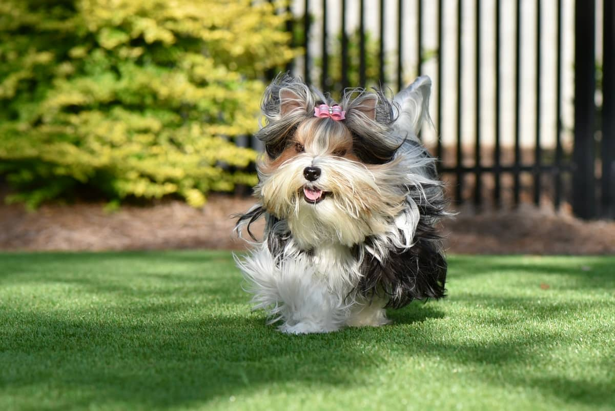 artificial grass backyard dogs