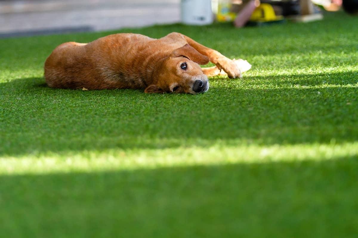 artificial grass pawradise