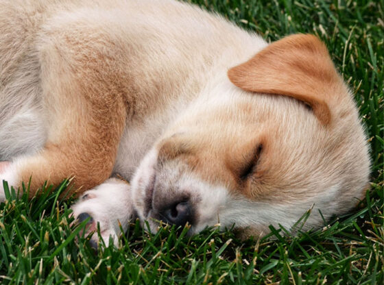 Advantages for Pet Owners of the Best Artificial Turf for Dogs