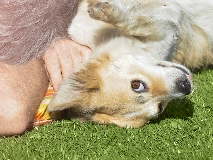 Artificial grass is a great outdoor play area for dogs.