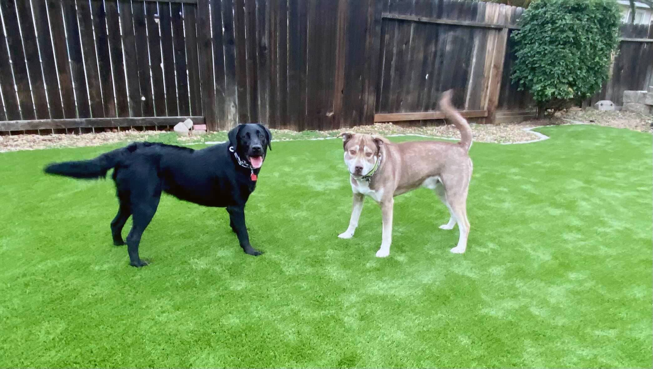 backyard pet friendly dog with artificial turf