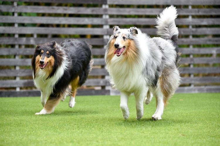 collie dog running on artificial grass